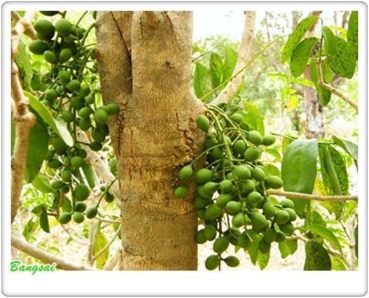 ต้นผักหวานป่า.....แกงใส่ไข่มดแดงแซบขนาด