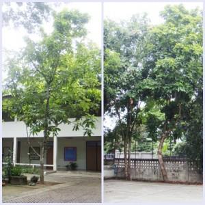 ต้นตะคร้อ หรือ มะโจ้ก