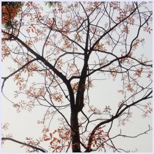 ต้นมะโจ้กผลัดใบ